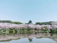 武汉赏花东湖樱花园游记
